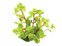 Dennerle Rotala rotundifolia Orange Juice