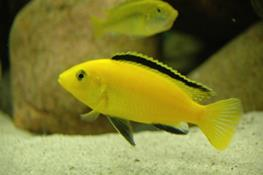 Labidochromis yellow thumbnail