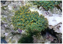 Anemona Heteractis Balu (verde profund) thumbnail