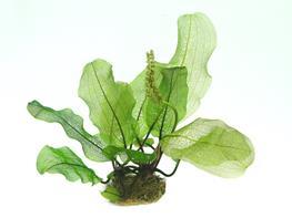 Aponogeton madagascariensis BULB thumbnail