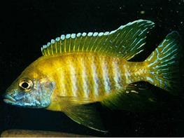 Aulonocara sp. baenchi thumbnail