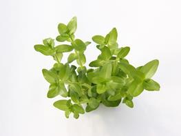 Bacopa caroliniana thumbnail
