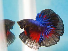 Betta Splendens Halfmoon M thumbnail