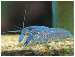 Cambarellus patzcuarensis blue thumbnail