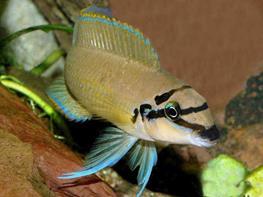 Chalinochromis brichardi thumbnail