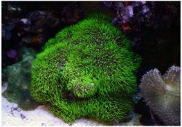 Coral Briareum sp. verde thumbnail
