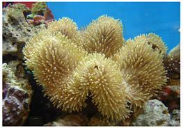 Corali ciuperca Sarcophyton sp. L thumbnail