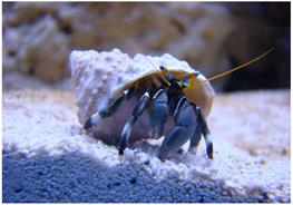 Crabul stangaci Hermit thumbnail
