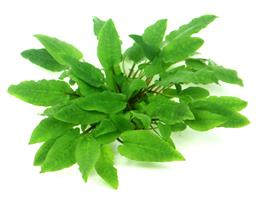 Cryptocoryne wendtii Broad Leaf In-Vitro thumbnail