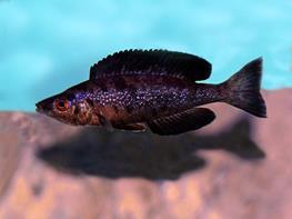 Cyprichromis microlepidotus black thumbnail