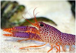 Homarul de recif Enoplometopus daumi thumbnail