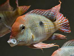 Geophagus sp. red head Tapajos thumbnail
