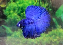Betta splendens super delta M