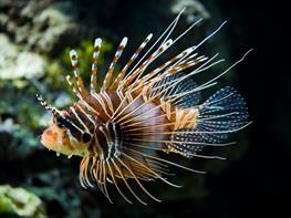 Lionfish Pterios Volitans Black thumbnail