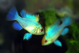 Papilichromis ramirezi electric blue thumbnail