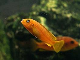 Melanochromis johanni red thumbnail