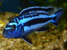Melanochromis maingano thumbnail