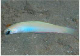 Monofin dartfish (Ptereleotris monoptera) thumbnail