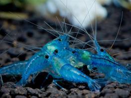 Neocaridina Blue Aura thumbnail