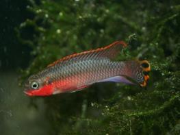 Pelvicachromis taeniatus niger. red thumbnail