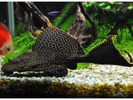 Pterygoplichthys gibbiceps thumbnail