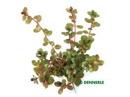 Rotala Rotundifolia thumbnail