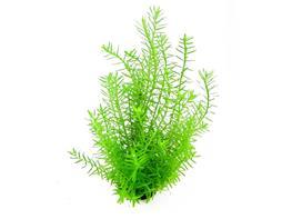 Rotala sp Green thumbnail