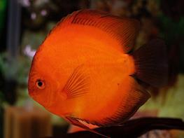 Symphysodon red marlboro thumbnail