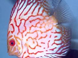 Symphysodon red pearl thumbnail