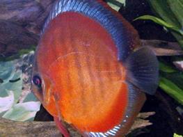 Symphysodon san merah thumbnail