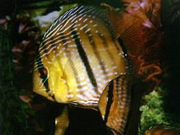 Symphysodon wild heckel thumbnail
