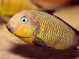 Tropheus brichardi namansi gold thumbnail