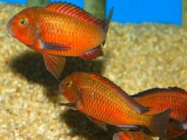 Tropheus moorii moliro orange fire craker thumbnail