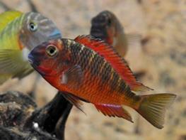 Tropheus moorii sambia red thumbnail