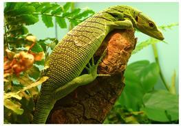 Varanus prasinus Emerald Monitor thumbnail