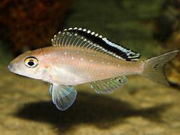 Xenotilapia spilopterus kacheze thumbnail
