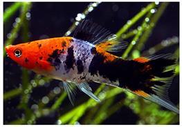 Xiphophorus helleri koi tricolour thumbnail