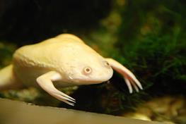 Xenopus laevis albino thumbnail