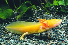 Ambystoma mexicanum gold