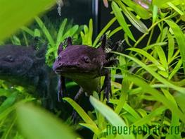 Ambystoma mexicanum green