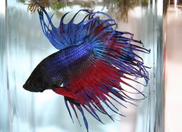 Betta splendens M crowntail thumbnail