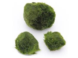 Cladophora aegagrophila thumbnail