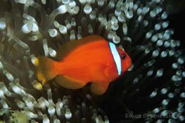 Amphiprion frenatus thumbnail