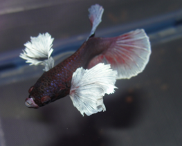 Betta splendens male elephant ear thumbnail