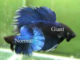 Betta splendens giant thumbnail