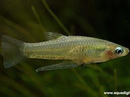 Girardinus falcatus thumbnail