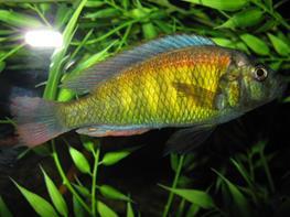 Haplochromis cribensis thumbnail