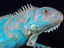 Iguana albastra (Iguana iguana Blue) thumbnail