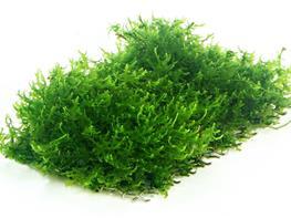 Coral moss Riccardia chamedryfolia pad 7x4cm thumbnail