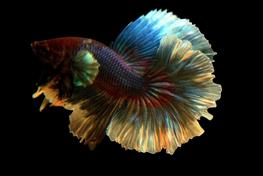 Betta splendens SuperDelta big ear M thumbnail